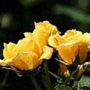Trio Of Yellow Roses Art Print