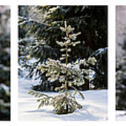 Triptych - Christmas Trees In The Forest - Featured 3 Art Print