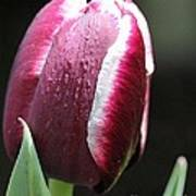 Triumph Tulip Named Jackpot Print by J McCombie