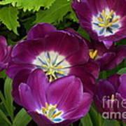 Triumph Tulips Negrita Variety Art Print
