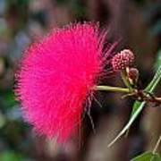 Red Mimosa Flower Art Print