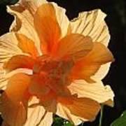 Tropical Hibiscus In The Sun Art Print