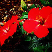 Tropical Hibiscus - Starry Wind 01a Art Print