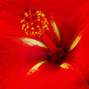 Tropical Hibiscus - Starry Wind 02a Art Print