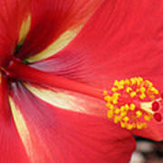Tropical Hibiscus - Starry Wind 04 Art Print