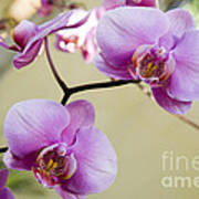 Tropical Radiant Orchid Flowers Art Print