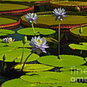 Tropical Water Lily Flowers And Pads Art Print
