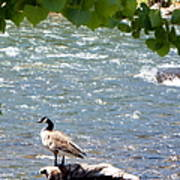 Truckee River Visitor Art Print