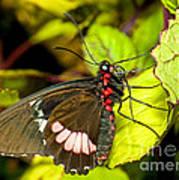 True Cattleheart Butterfly Art Print