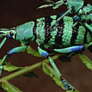 True Weevil Couple Mating Papua New Art Print