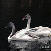 Trumpeter Swan Cygnets Art Print