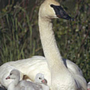 Trumpeter Swan On Nest With Chicks Print by Michael Quinton