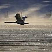 Trumpeter Swan Silhouetted In Flight Art Print