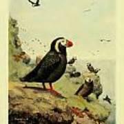 Tufted Puffin Circa 1913 Art Print