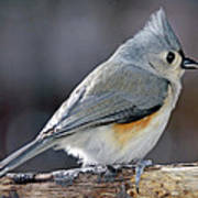 Tufted Titmouse Animal Portrait Print by A Gurmankin