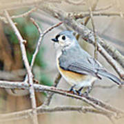 Tufted Titmouse - Baeolophus Bicolor Art Print