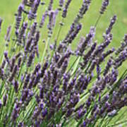 Tuilieres Lavender Art Print