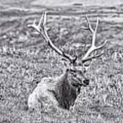 Tule Elk In Black And White  Art Print