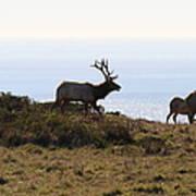 Tules Elks Of Tomales Bay California - 7d21230 Art Print