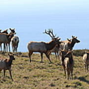 Tules Elks Of Tomales Bay California - 7d21236 Art Print by Wingsdomain Art and Photography