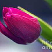 Tulip 2a Art Print