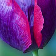Tulip Bright  Art Print