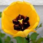 Tulip Center Art Print