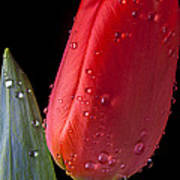 Tulip Close Up Print by Garry Gay