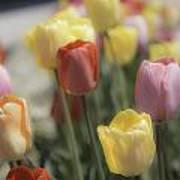 Tulip Display Art Print