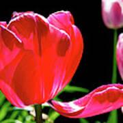 Tulip Extended Art Print