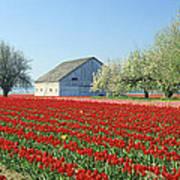 Tulip Field In Washington Stae Usa Art Print