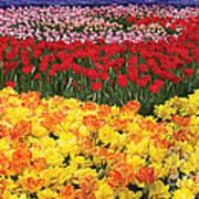 Tulip Field Art Print