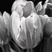 Tulip Flowers Black And White Art Print