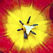 Tulip Nucleus Art Print