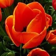 Tulip Orange Flower Art Print