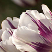 Tulip Pair Art Print