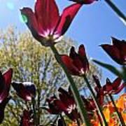 Tulip Tango Art Print