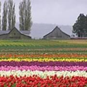 Tulip Town Barns Art Print