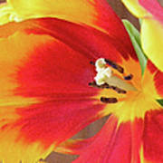 Tulip Warm Tones Art Print