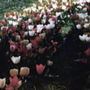 Tulipans Art Print