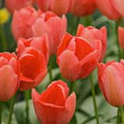Tulips 33 Art Print