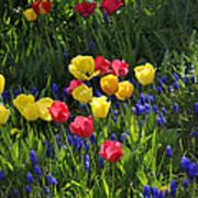 Tulips And Grape Hyacinths Art Print
