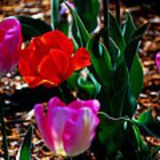 Tulips. Arlington Cemetery Art Print