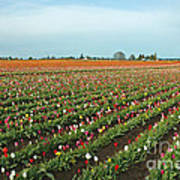 Tulips As Far As The Eye Can See Print by Nick  Boren