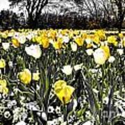 Tulips At Dallas Arboretum V26 Art Print