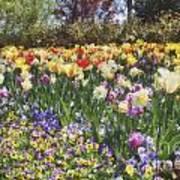 Tulips At Dallas Arboretum V33 Art Print