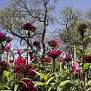 Tulips At Dallas Arboretum V35 Art Print