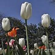 Tulips At Dallas Arboretum V36 Art Print