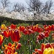 Tulips At Dallas Arboretum V39 Art Print