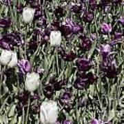 Tulips At Dallas Arboretum V43 Art Print